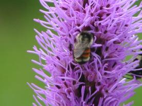 Bumblebee on Liatris spicata