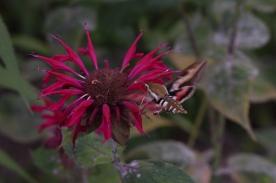 Gallium Sphinx moth on Bee balm