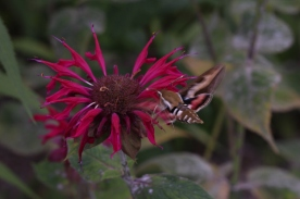 Gallium Sphinx moth on Bee balm