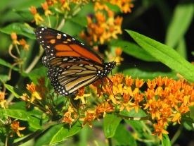 Monarch on Aesclepias tuberosa (milkweed)