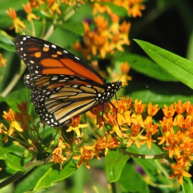 Monarch on Aesclepias tuberosa (milkweed)